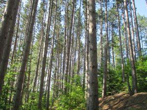 7-13_pines